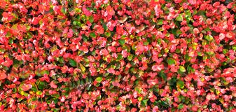 Free Cornus Florida Flowering Dogwood  Native Plants City Flowers Pink Red Green Floral Background Royalty Free Stock Photography - 158379537