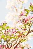 Cornus florida - Flowering dogwood, photo filter Stock Images