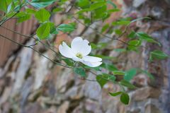 Dogwood Tree Flower Background. Cornus florida flowering dogwood is a species of flowering plant in the family Cornaceae native to eastern North America and Royalty Free Stock Photo