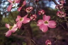 Cornus florida ruba  (Flowering Dogwood) Royalty Free Stock Images