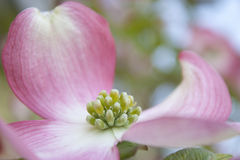 Cornus florida rubra Stock Photo