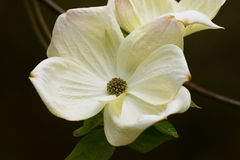 Cornus flower. A beautiful white flower growing on the Dogwood tree Royalty Free Stock Photos