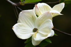 Cornus flower. A beautiful white flower growing on the Dogwood tree Royalty Free Stock Image