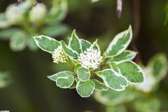 Cornus hermoso de la planta alba Imágenes de archivo libres de regalías