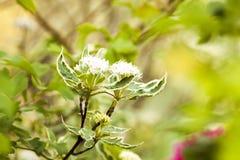 Cornus hermoso de la planta alba en fondo verde Fotos de archivo libres de regalías