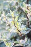 Cornus hermoso Elegantissima alba de la planta Fotos de archivo libres de regalías