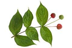 Cornus Kousa Dogwood Fruit and Leaf Royalty Free Stock Photography