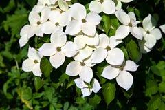 Cornus kousa kwiaty Zdjęcie Stock