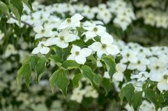 Cornus kousa ornamental and beautiful flowering shrub, bright white flowers with four petals on blooming branches. Green leaves stock photo