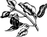 Cornus mas royalty-vrije illustratie