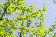 Cornus mas. Beautiful spring flowers Stock Image