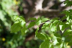 Cornus mas. Beautiful spring flowers Stock Photos