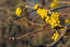 Cornus mas bloem stock afbeeldingen