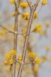 Cornus mas - Bloem Royalty-vrije Stock Afbeeldingen