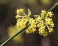 Cornus mas in bloom. The early bright yellow flowers of Cornus mas also known as Cornelian cherry, European cornel or Cornelian cherry dogwood, sunlit against a Stock Image