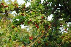 Cornus mas - Cornelian cherry, European cornel, Cornelian cherry dogwood Stock Photos