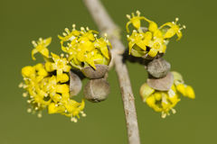 Cornus mas, Cornelian cherry, European cornel, dogwood yellow fl Stock Photo