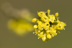 Cornus mas, Cornelian cherry, European cornel, dogwood yellow fl Royalty Free Stock Image