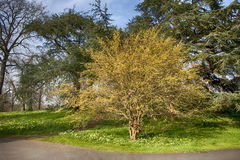 Cornus mas, Cornelian Cherry. In flower in botanical garden Stock Photography
