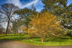Cornus mas, Cornelian Cherry. In flower in botanical garden Stock Photo