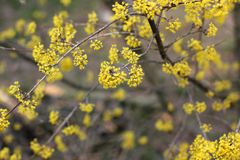 Cornus mas. Dog-tree. dogwood. Cornel blossoms. The tree is blooming royalty free stock image