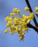 Cornus mas. The early bright yellow flowers of Cornus mas also known as Cornelian cherry, European cornel or Cornelian cherry dogwood, sunlit against a Stock Photo