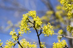 Cornus mas fruit tree in bloom, yellow small flowers against blue sky. Branches Stock Photography