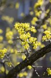 Cornus mas fruit tree in bloom, yellow small flowers against blue sky Stock Images