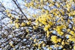 Cornus mas, kornaliny wiśnia, Europejski cornel, dereń, kwiatonośna roślina w dereniowym Cornaceae, miejscowy południowy Obraz Royalty Free