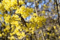 Cornus mas, kornaliny wiśnia, Europejski cornel, dereń, kwiatonośna roślina w dereniowym Cornaceae, miejscowy południowy Fotografia Royalty Free