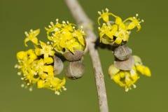 Cornus mas, kornaliny wiśnia, Europejski cornel, dereniowy kolor żółty fl Zdjęcie Stock