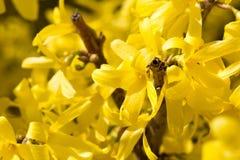 Cornus mas kwiatów żółty okwitnięcie Fotografia Royalty Free