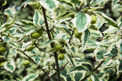 Cornus mas plant Royalty Free Stock Photos