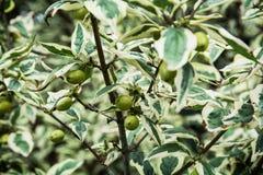Cornus mas plant Royalty Free Stock Photos