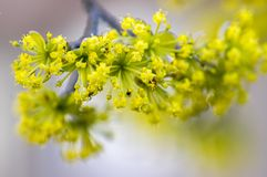 Cornus mas tree branches during early springtime, Cornelian cherry flowering. With yellow small flowers Stock Images