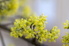 Cornus mas tree branches during early springtime, Cornelian cherry flowering. With yellow small flowers Royalty Free Stock Photography