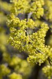 Cornus mas tree branches during early springtime, Cornelian cherry flowering. With yellow small flowers Stock Photography