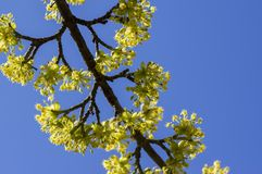 Cornus mas tree branches during early springtime, Cornelian cherry flowering. With yellow small flowers Stock Photos