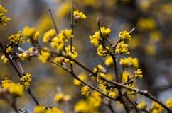 Cornus mas tree with yellow flowers Royalty Free Stock Photo