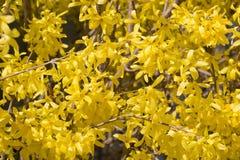 Cornus mas yellow flowers blossom Stock Photos