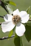 Cornus nutalii flower Stock Photos