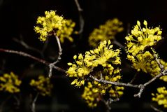 Cornus officinalis Stock Photos