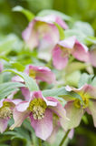Cornus pink flowers Royalty Free Stock Photography