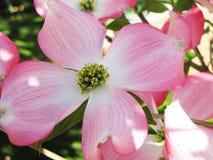 Cornus plant during spring time Royalty Free Stock Image