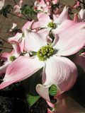Cornus plant during spring time Stock Photography