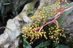 Cornus Rewolucjonistki gałąź z zieleń wskazującymi pączkami roślina obrazy royalty free