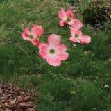 Cornus roses la Floride d'arbre de cornouiller fleurissant en fleur image libre de droits