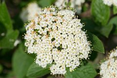 Cornus Sanguinea, Common Dogwood,  Bloody Dogwood White Flowers Stock Photo