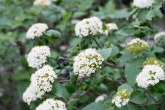 Cornus Sanguinea, Common Dogwood,  Bloody Dogwood White Flowers Royalty Free Stock Photography