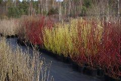 Cornus stolonifera `Flaviramea` and Cornus alba `Sibirica` plants. Stock Photos